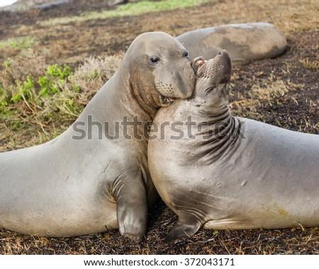 Elephant Seals Wild Mammals Play Wrestling Biting - stock photo