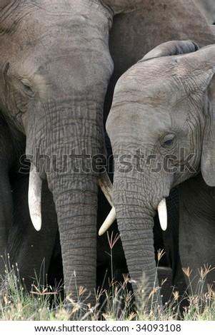 Elephant - Serengeti Wildlife Conservation Area, Safari, Tanzania, East Africa - stock photo