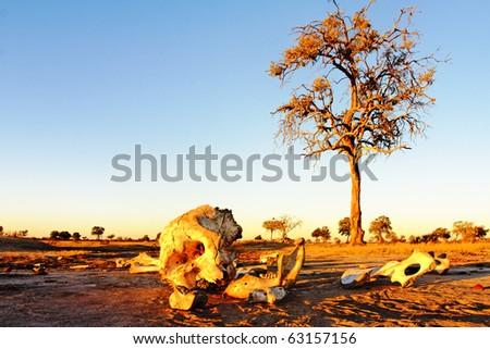 Elephant Skeleton - stock photo