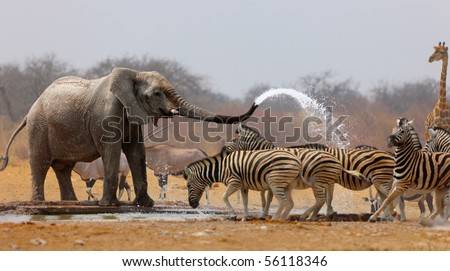 Elephant spraying zebras with water to keep them away from waterhole - stock photo