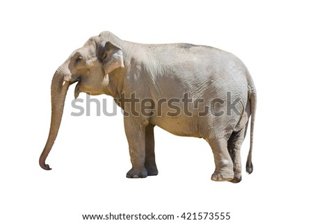 elephant standing isolated on white background. Object with clipping path. - stock photo