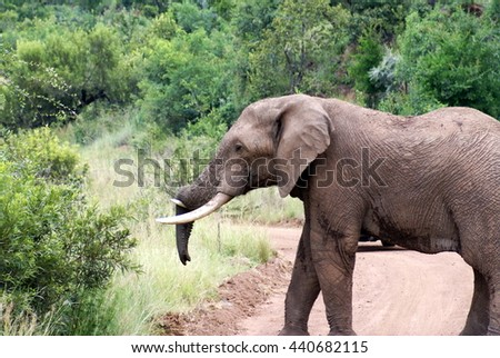 Elephant standing on a dirt road in the Pilanesberg Game Reserve - stock photo