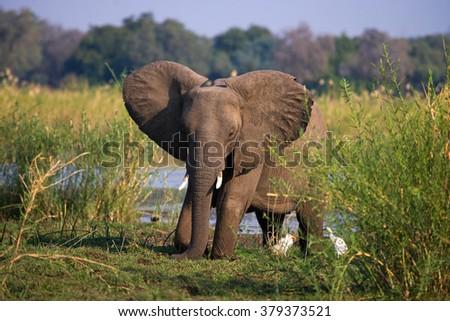 Elephant standing on the grass near river Zambezi. Zambia. Lower Zambezi National Park. Zambezi River. An excellent illustration. - stock photo