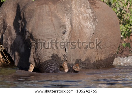 elephant swimming - stock photo