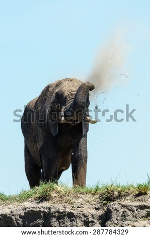 Elephant taking a dust bath after it swam through a river