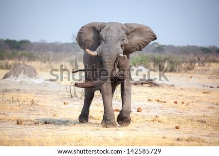 Elephant threats charge - stock photo