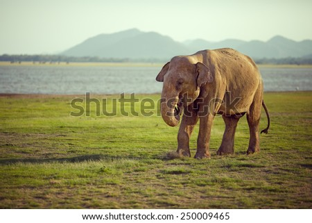 Elephant throws food and kicking up dust - stock photo