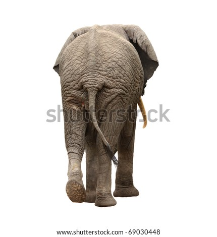 elephant walking away - stock photo