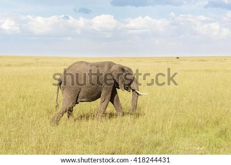 Elephant walking in Masai Mara savanna - stock photo