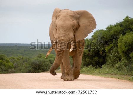 Elephant walking in the middle of the road in Addo National  Elephants Park in South Africa - stock photo