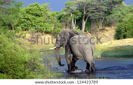 elephant walking in the river - stock photo