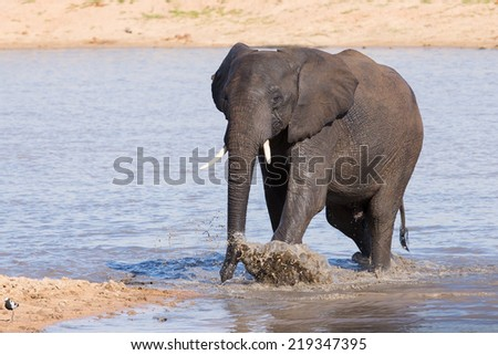 Elephant walking in water to have a drink and cool down on a hot day - stock photo