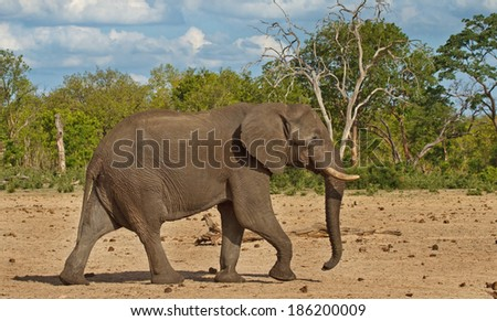 Elephant walking on the plains of Hwange national Park