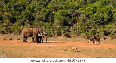 Elephant, warthog and zebra at the water hole in Addo Elephant Park, South Africa - stock photo