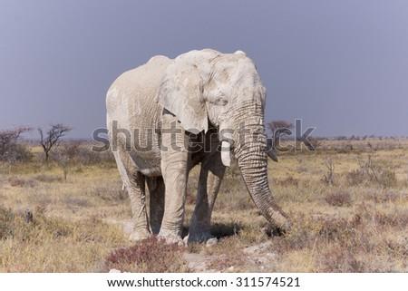 Elephant - Wildlife from Namibia - stock photo