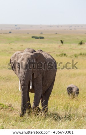 Elephant with calf walking on the savannah - stock photo