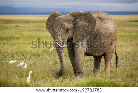 Elephant with curved tusks in savanna
