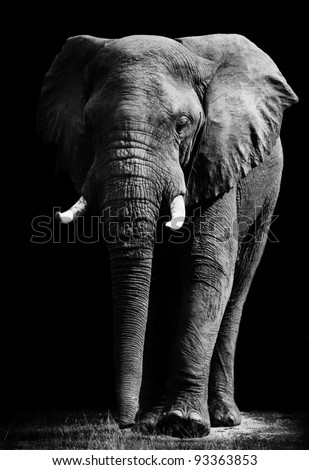 Elephant with Dark Background - stock photo
