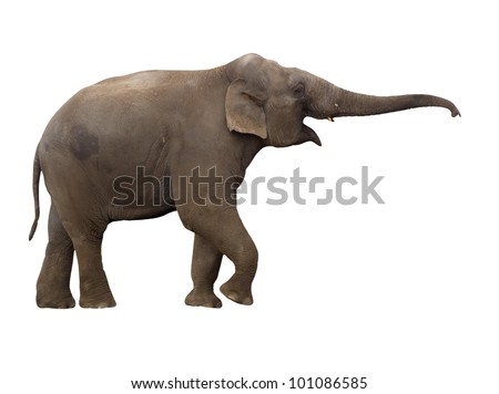 Elephant with long trunk, isolated on background