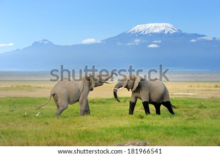 Elephant with Mount Kilimanjaro in the background - stock photo