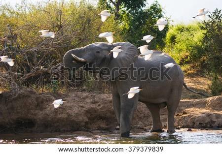 Elephant with white herons. Zambia. Lower Zambezi National Park. Zambezi River. An excellent illustration. - stock photo
