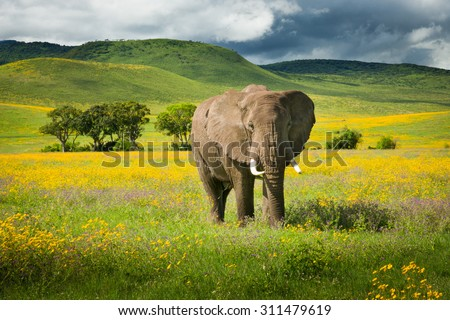 Elephant with yellow wild flowers. Ngorongoro crater, Tanzania - stock photo