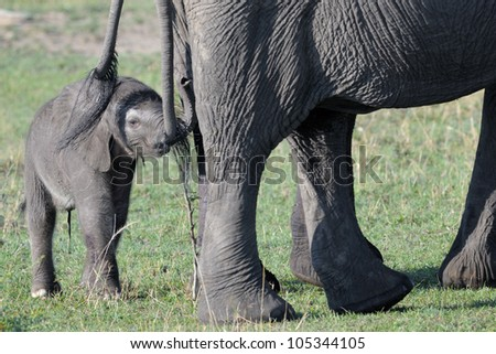 Elephant young behind mother touching tale.