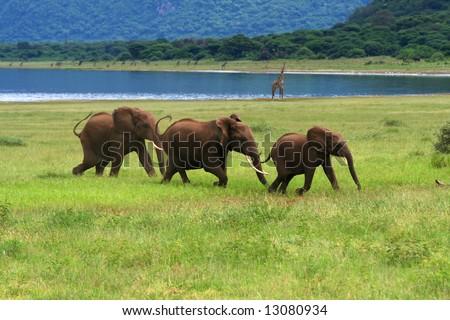 elephants - stock photo