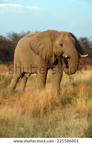 Elephants are large mammals of the family Elephantidae and the order Proboscidea.(Etosha National Park) Namibia Africa - stock photo