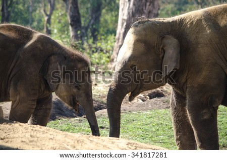 Elephants are large mammals of the family Elephantidae and the order Proboscidea.  Two species are traditionally recognised, the African elephant  and the Asian elephant Elephants are herbivorous  - stock photo