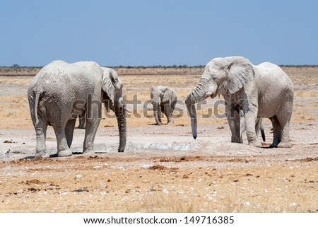 elephants at a waterhole  in etosha nationalpark namibia covered with white mud 3