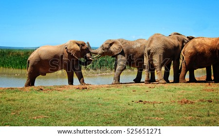 Elephants at a watering hole. Beautiful African landscape. Wildlife. Elephant Love. Amazing image. Sweet memories of travel to Africa & African safari. Postcard. Wild animals in National Parks