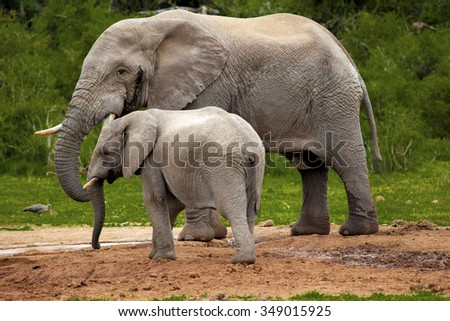 Elephants at drinking hole in a safari park in South Africa. - stock photo