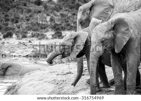 Elephants at the Addo Elephant Park, South Africa - stock photo