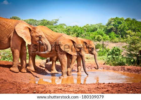 Elephants at the small watering hole in Kenya. Afrika. - stock photo