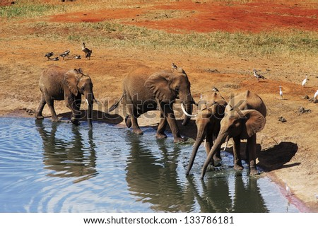 Elephants at the source in Kenya 02 - stock photo