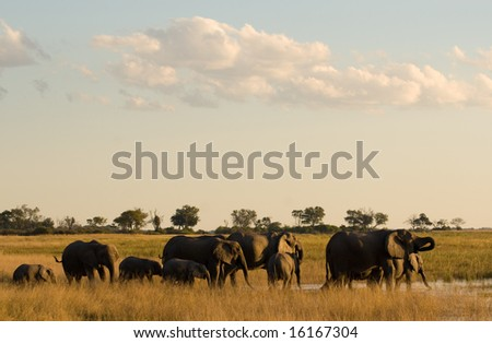 Elephants at Water Hole (Loxodonta africana) - stock photo
