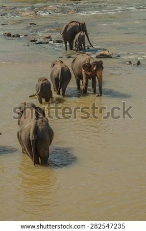 Elephants bathing in the river,elephants drink at the waterhole. - stock photo