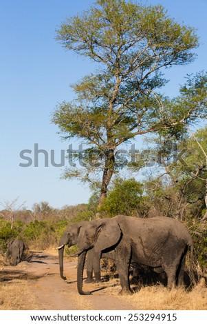 Elephants beneath a tall tree - stock photo