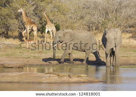 Elephants, Crocodile, Giraffe and Impala at a waterhole in Kruger Park, South Africa - stock photo