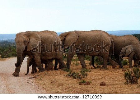 elephants crossing the path