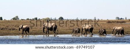Elephants crossing water in chobe - stock photo