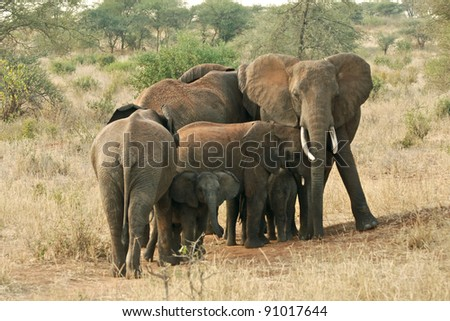 Elephants defending their young