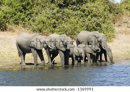 Elephants drinking from the river in Chobe NP, Botswana - stock photo