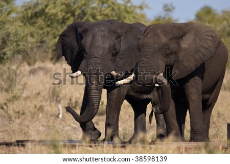 Elephants drinking water in greater kruger park