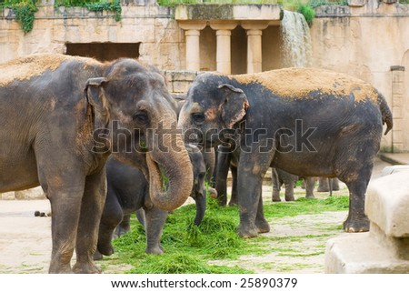 Elephants eat grass - stock photo