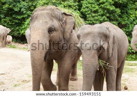 Elephant Eating Grass Elephants Eating Grass