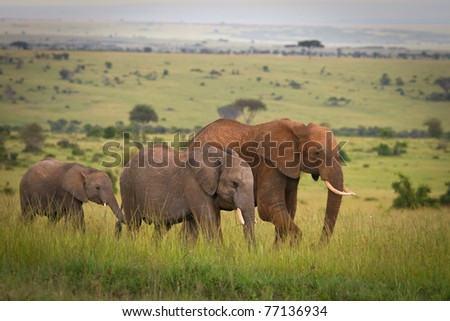 Elephants family crossing grassland, Masai Mara, Kenya - stock photo