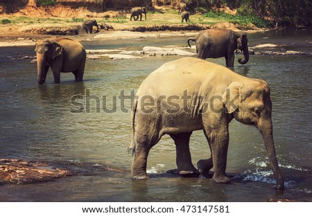 Elephants family walking in the river, vintage nature background, Sri Lanka