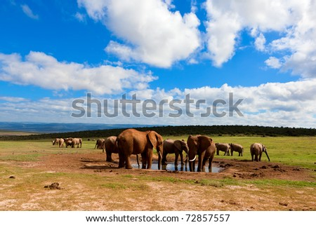 Elephants gathering at the waterhole and on the grass plains of Africa - stock photo